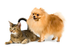 The spitz-dog and cat Royalty Free Stock Photos