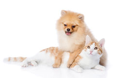 Spitz dog and cat lie together. Looking at camera. isolated on w Royalty Free Stock Photos