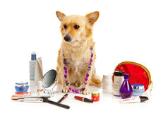 Spitz dog with cosmetics Royalty Free Stock Photos