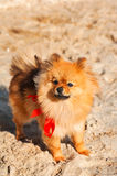 Spitz,dog,doggy is staying on the sand with red bow and looking up. Spitz,dog,doggy,puppy is staying on the sand with red bow and looking up Royalty Free Stock Photo