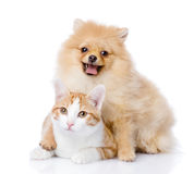 Spitz dog embraces a cat. Looking at camera. isolated on white b stock image