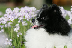 Spitz dog between flowers Royalty Free Stock Images