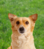 Spitz dog on green meadow Royalty Free Stock Photos