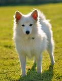 Spitz dog in the greensward Royalty Free Stock Images