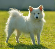 Spitz dog in the greensward Stock Photography