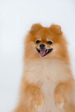 Spitz-dog. The little Pomeranian spitz-dog stands having raised pads stock photos
