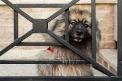 Spitz dog looks through the bars with smart, sad eyes. stock images