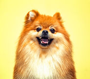 Spitz dog with an open mouth Royalty Free Stock Photography