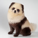 The spitz-dog painted under a panda Royalty Free Stock Photos