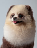 The spitz-dog painted under a panda Royalty Free Stock Photo