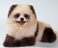 The spitz-dog painted under a panda Stock Photo