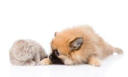 Spitz dog playing with scottish cat. isolated on white background Stock Photos