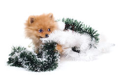 Spitz-dog playing in studio. Isolated royalty free stock photography
