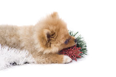 Spitz-dog playing in studio. Isolated stock images