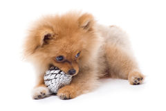 Spitz-dog playing in studio. Isolated stock image