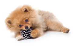 Spitz-dog playing in studio. Isolated royalty free stock photo