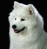 Spitz dog portrait Stock Photography