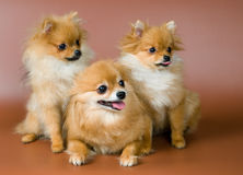 Spitz-dog and puppies Stock Images