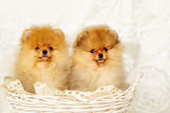 Spitz dog puppies Royalty Free Stock Images