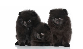Spitz dog puppies on a white background Royalty Free Stock Photo