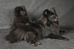 Spitz-dog and puppy Royalty Free Stock Photography