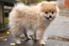 The spitz dog puppy in autumn park Stock Photo
