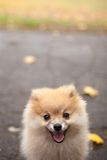 The spitz dog puppy in autumn park. Cute spitz dog puppy in autumn park walking Royalty Free Stock Images