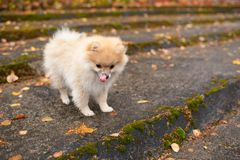 The spitz dog puppy in autumn park Royalty Free Stock Image