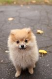 The spitz dog puppy in autumn park Stock Photos