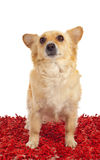 Spitz dog on red carpet Stock Photos