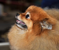 Spitz dog red. Spitz-dog poising at exhibition. Happy portrait of a dog. Dog characterized by long, thick, and often white fur, and pointed ears and muzzles. The royalty free stock image