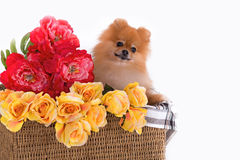 Spitz-dog. Sits in basket with flowers stock photo