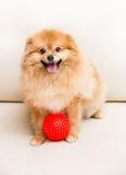 Spitz dog sits next to the ball.  Royalty Free Stock Photography