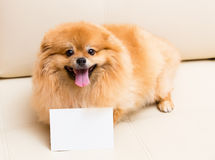 Spitz dog sits next to the card.  Royalty Free Stock Images