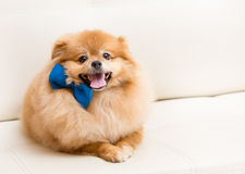 Spitz dog sits on sofa with bow. Spitz dog sits on the sofa with blue bow Royalty Free Stock Photo