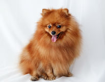 Spitz dog sits on a white canvas Royalty Free Stock Photography
