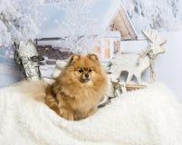 Spitz dog sitting on fur rug in winter scene. Spitz dog sitting on fur rug, winter scene Royalty Free Stock Photo