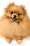 Spitz-dog in studio Royalty Free Stock Image