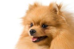 Spitz-dog in studio Royalty Free Stock Photography
