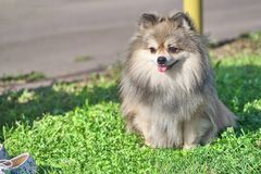 Spitz dog with thick hair close-up. Spitz is a decorative breed of dogs. Spitz breeds of dogs, characterized by sharp ears, upturned tail and thick sticking hair royalty free stock images