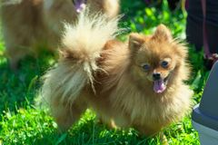 Spitz dog with thick hair close-up. Spitz is a decorative breed of dogs. Spitz breeds of dogs, characterized by sharp ears, upturned tail and thick sticking hair stock photo