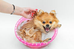Spitz dog washes and laughs Stock Photography