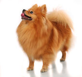 Spitz-dog on white Stock Photography