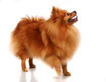 Spitz-dog on white Royalty Free Stock Photo
