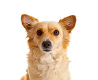 Spitz dog on white background Stock Photos