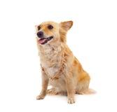 Spitz dog on white background Royalty Free Stock Image