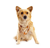 Spitz dog on white background Stock Image