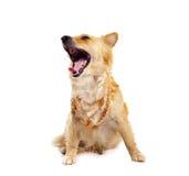 Spitz dog on white background Stock Photos