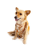 Spitz dog on white background Royalty Free Stock Photos