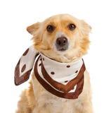 Spitz dog on white background Stock Images